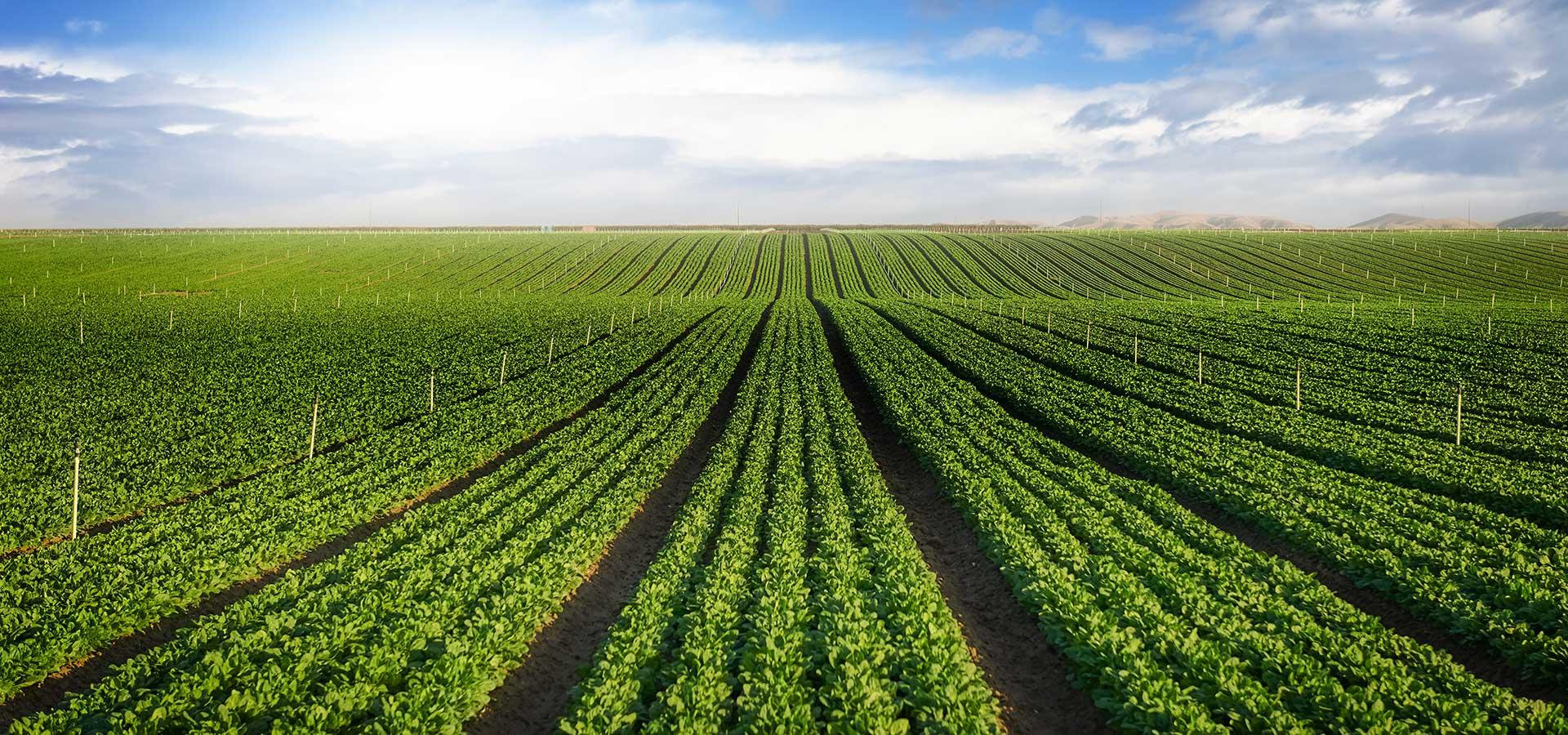 Carrot-Field